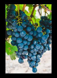 Malbec wijnen Argentinië