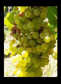 Torrontes wijnen Argentinië