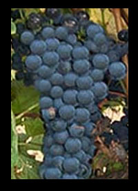 Shiraz wijnen Australië