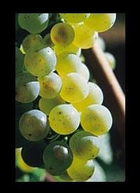 Grüner Veltliner wijnen Oostenrijk