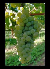 Sauvignon Blanc wines Chile