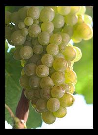 Weissburgunder wines Germany