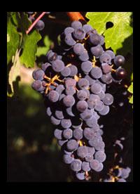 Cabernet wijnen Zuid-Afrika