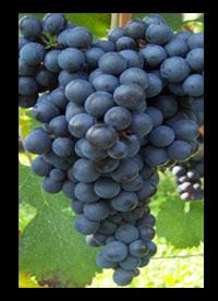 Merlot wijnen Zuid-Afrika
