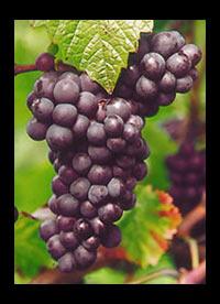 Pinotage wijnen Zuid-Afrika