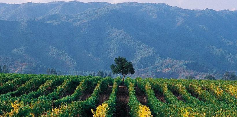 Wijngaard tegen berghelling